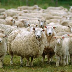 Satılık 30 Adet Kurbanlık Koyun