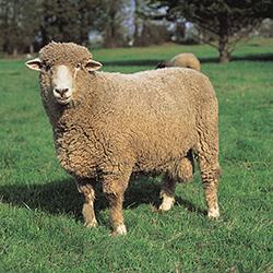 Satılık 60 Adet Koyun