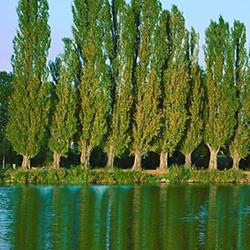Satılık 30 Ton Selvi Ve Kavak Ağaçları